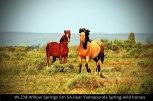 WL238-Willow-Springs-Stn-SA-near-Yadnapunda-Spring-Wild-horses