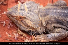 WL240-Willow-Springs-Station-SA-Eastern-Bearded-Dragon