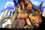 WL243-Willow-Springs-Stn-SA-Working-dogs