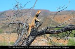 WL244-Skytrek-4WD-track-Flinders-Ranges-SA-Bearded-Dragon
