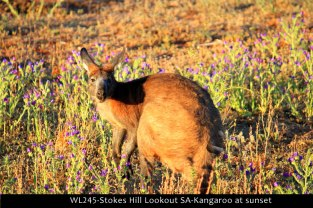 WL245-Stokes-Hill-Lookout-SA-Kangaroo-at-sunset