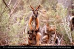 WL249-Arkaroola-Wilderness-Sanctuary-SA-Yellow-footed-Rock-Wallaby-&-joey