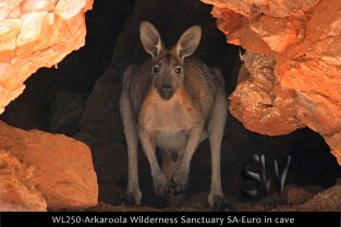 WL250-Arkaroola-Wilderness-Sanctuary-SA-Euro-in-cave