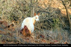 WL252-Arkaroola-Wilderness-Sanctuary-SA-Albino-Yellow-Footed-Rock-Wallaby