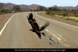 WL253-Central-Flinders-Ranges-SA-Wedgetail-Eagle