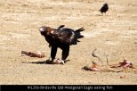 WL256-Birdsville-Qld-Wedgetail-Eagle-eating-fish