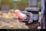 WL257-Oodnadatta-track-SA-Beresford-Siding-Pink-Galah