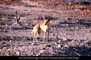 WL258-Arkaringa-Hills-SA-Painted-Desert-wild-Dingo