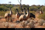WL259-Kingoonya-SA-Emus