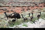 WL260-Stuart-Hwy-SA-Emu-&-chicks