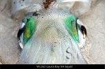 WL262-Laura-Bay-SA-Squid