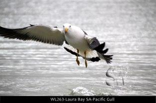 WL263-Laura-Bay-SA-Pacific-Gull