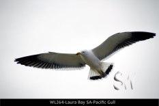 WL264-Laura-Bay-SA-Pacific-Gull
