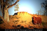 WL267-Carrawine-Gorge-Warrawagine-Station-WA-grazing-bull