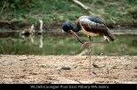 WL268-Coongan-Pool-East-Pilbara-WA-Jabiru