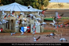 WL275-Kweda-Bulyee-WA-wheatbelt-Pink-&-Grey-Galahs