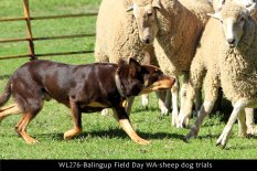 WL276-balingup-field-day-wa-sheep-dog-trials
