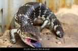 WL282-kweda-wa-bobtail