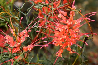 Batavia-Coast-North-West-Coastal-Hwy-Grevillea