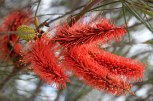 Batavia-Coast-North-West-Coastal-Hwy-Red-Grevillea