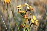Canna-Donkey-Orchid(1)
