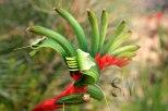 Hutt-River-Red-&-Green-Kangaroo-Paw-(Anigozanthos manglessii)