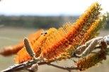 Karlgarin-Flame-Grevillea-(Grevillea-excelsior)
