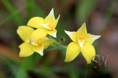 Lake-Indoon-Eneabba-Cowslip-Orchids