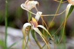Lake-Indoon-Eneabba-White-Spider-Orchid