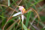 Lake-Indoon-Eneabba-White-Spider-Orchid(2)