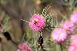 Northern-Loop-Bindoo-Hill-Nature-Reserve-Pom-Poms