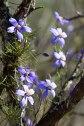 Pindar-Beringarra-Rd-Tallering-Station-Climbing-Singer-Flower