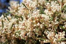 Tathra-National-Park-Honey-Bush-or-Hakea