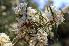 Tathra-National-Park-Honey-Bush-or-Hakea(2)