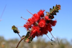 Tathra-National-Park-Scarlet-Featherflower-(Verticordia-Grandias)