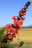 Tathra-National-Park-Scarlet-Featherflower-(Verticordia-Grandias)(2)