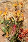 Western-Wildflower-Farm-Moora-multiple-Kangaroo-Paw
