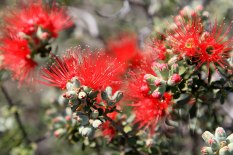 Wongan-Hills-Christmas-Rock-Trail-Granite-Kunzea