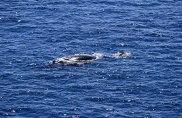 Whale & calf, Garths Rock