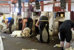 Shearing, Western Wildflower Farm, Moora