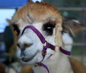 Those eyes...Alpaca Balingup Small Farm Field Day