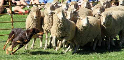 Kelpies working sheep - Balingup Small Farm Field Day