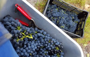 We did a couple of days picking Shiraz & Cab Sav
