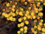 Eneabba-Wattles/Acacias