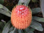 Eneabba-Banksia