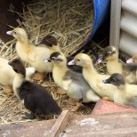 9 new ducklings on farm