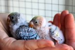 Baby budgies just hatched