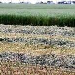 Newly cut hay