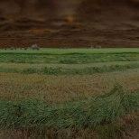 Hay crop