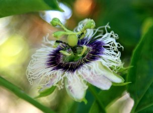 The beautiful passionfruit flower